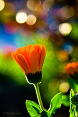 Love is possible (andreucccia (mostly away)) Tags: orange flower green love colors closeup dof bokeh blume mygearandme mygearandmepremium mygearandmebronze mygearandmesilver mygearandmegold mygearandmeplatinum mygearandmediamond