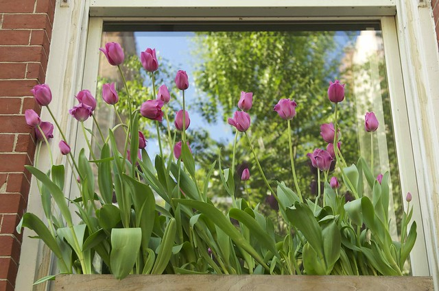 125/365 ~ Tulips in the Window