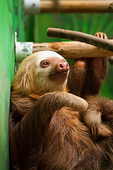 Two-toed sloth (DaveMosher) Tags: vacation costarica animalrescue tropics centralamerica sloths slothsanctuary