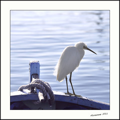 "Passagre ""Clandestine"".... (Alcosinus   ON/OFF... ) Tags: sea bw mer birds oiseaux aigrette nikond90 alcosinus"