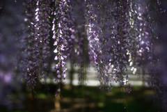 BYODOIN : wisteria #2 (jam343) Tags: flowers 50mm kyoto 京都 uji wisteria byodoin pueple 宇治 平等院 藤 フジ