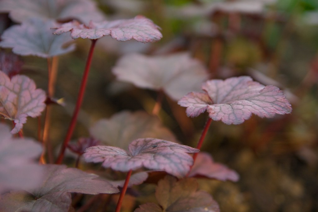 purple heuchera  298