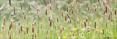 High Field (Stuart-Saunders) Tags: flower macro field grass nikon close nikkor 105mm d90
