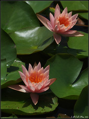 Waterlily (LoBsTeRbig) Tags: flower waterlily ep1   r1804 p5260725