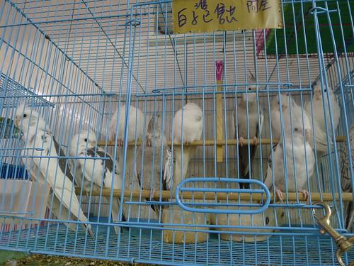 萬華鳥街-白化玄鳳