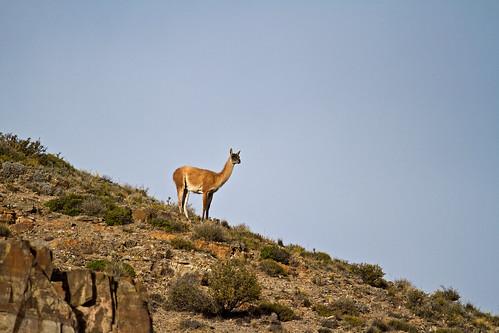 Llama, Argentina