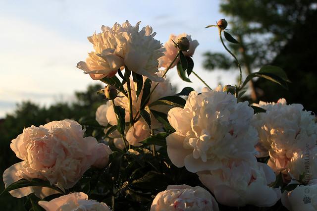 Peonies in my garden. Пион молочноцветковый — Paeonia lactiflora cv.