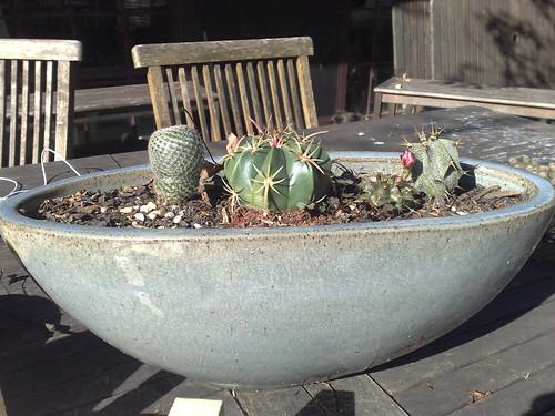 Tom's cactus garden
