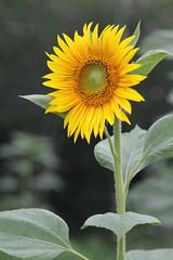 Sunflower - kiss the sun (sunny sunday) Tags: canon 24105l