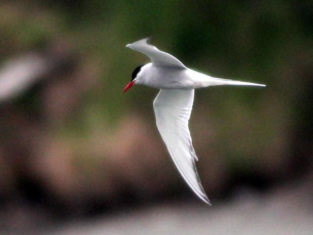 Arctic Tern 20110621
