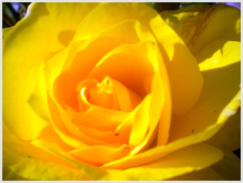 yellow rose open