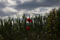 Poppy (W.johnatan) Tags: sky cloud flower color green nature fleur canon landscape eos 50mm grey soleil spring vert poppy planet t3 paysage emil coquelicot 1100 50mm18 antonowsky 1100d