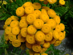 Tanacetum vulgare (yewchan) Tags: flowers flower nature colors beautiful beauty closeup garden flora colours gardening vibrant blossoms blooms lovely tansy tanacetumvulgare goldenbuttons