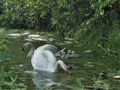 (AbAberson) Tags: vogels pony lente zwanen behindthebarn
