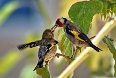 Pintassilgos, no meu jardim (Zéza Lemos) Tags: flores portugal amor natureza natur aves ave jardim algarve vilamoura penas girassóis pintassilgos bestcapturesaoi elitegalleryaoi