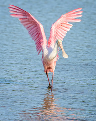 Big Stretch! (craig goettsch - out shooting) Tags: bird nature wings nikon wildlife avian roseatespoonbill d610 dingdarlingnwr usnwr
