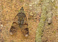 IMG_9691-0(WC) Lantern bug (Dichoptera sp. ), family of Fulgoridae (Vince_Adam Photography) Tags: lanternbug fulgoridae insect malaysia wildlife serangga dichopterasp