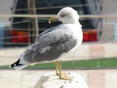 Mouette (Arcalune) Tags: mouette seagull bird oiseau