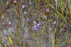 Utricularia benthamii (jeans_Photos) Tags: lentibulariaceae utricularia utriculariabenthamii geo:country=australia geo:state=westernaustralia carnivorous wetland taxonomy:binomial=utriculariabenthamii wandoonationalpark westernaustralia york