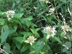 Horse Mint (moranda fistulosa)