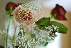 (Cassia Noelle) Tags: pink flowers red roses flower floral rose 50mm nikon focus bouquet dying d60 withering