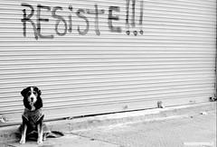 RESISTENCIA ANIMAL (Pablo C.M || BANCOIMAGENES.CL) Tags: chile santiago dog ciudad perro animl quiltro kiltro
