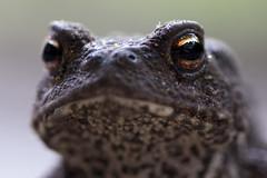 I On U (Djenzen) Tags: animals canon garden backyard jeroen pad toad tuin dieren jansen 40d djenzen