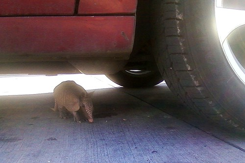Parking Lot Armadillo by Mark Bonica