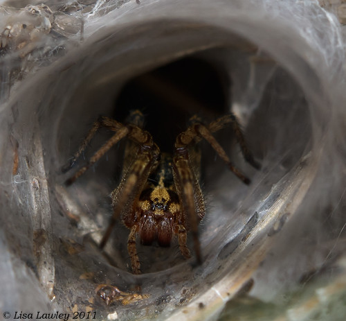 Scaredy Cat, Agelena labyrinthica
