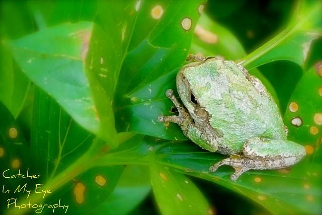 Grey-Green Tree Frog on a Leaf