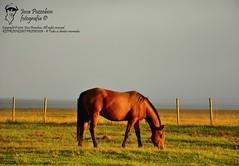 colorado (Joca Pozzobon) Tags: horse caballo colorado cerca rs cavalo riograndedosul amanhecer potro pingo pastando flete potranco jocapozzobon