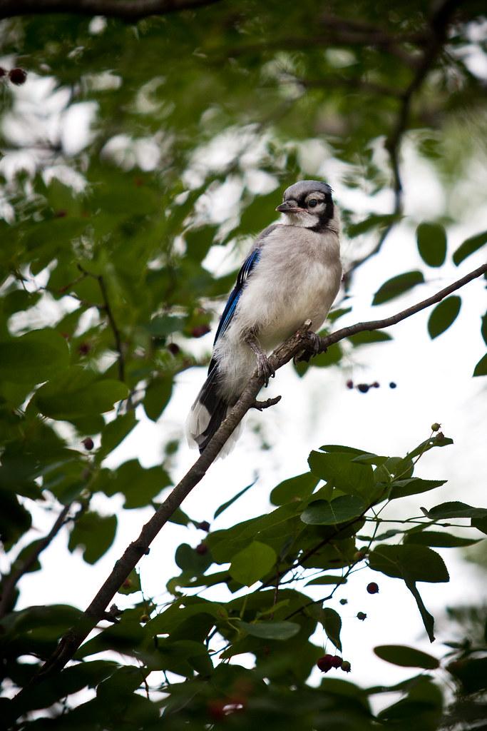 Blue Jays-3