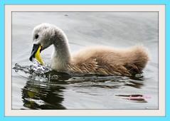 Baby Mute Swan