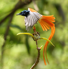 bird of Paradise (asian) (zahoor-salmi) Tags: pakistan macro nature birds animal canon photo natural action wildlife punjab salmi walpapers bhalwal zahoorsalmi thewonderfulworldofbirds