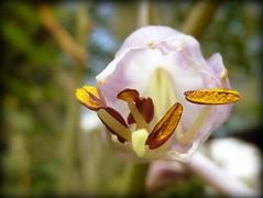 net opengesneden broodjes (roberke) Tags: sun flower macro nature fleur yellow closeup garden natuur stamens tuin hosta 1001nights geel bloem stampers zonnig stunningphotogpin