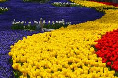 Tulip River (Yavuz Alper) Tags: park festival forest istanbul tulip april 7th metropolitan 2012 koru municipality sarıyer emirgan büyükşehir belediyesi fantasticflower colorphotoaward