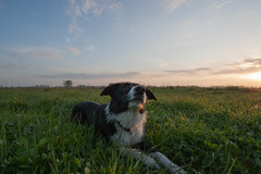 Great morning (Bas Bloemsaat) Tags: morning dog sunrise mac collie border bordercollie