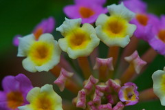 Lantana (Deb Jones1) Tags: flowers flower macro nature beauty canon garden botanical outdoors flora bloom lantana flickrduel debjones1