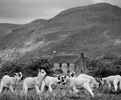 THE VIOLENCE OF THE LAMBS (kenny barker) Tags: monochrome landscape lumix scotland spring ochills landscapeuk panasoniclumixg1 welcomeuk kennybarker