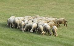 ce n'est pourtant pas l'herbe qui manque  ct (b.four) Tags: sheep mouton dda alpesdehauteprovence naturesfinest pecora coth supershot bej abigfave diamondclassphotographer flickrdiamond citrit cherryontopphotography rubyphotographer damniwish mygearandme peyroules ruby10 ruby15