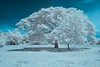 The Tree of Life (Shutter wide shut) Tags: tree ir philippines canoneos20d infrared canonef1740mmf4lusm tibiao