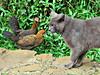 An Interesting Community (John 3000) Tags: wild cats chickens birds animals hawaii oahu wildlife gatos aves pajaros animales roadside feral strays hens 2014 gallinas nuuanupali statewayside