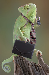 Chameleon Businessman (openagriculture) Tags: pet green businessman eyes colorful reptile tail working cellphone tie lizard communication business busy scales files late talking creature calling chameleon briefcase vertebrate changingcolor attache