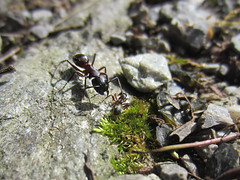 Carpenter ant attacking I (Sandwood.) Tags: nature animal insect fight ant attack ants ameise carpenterant camponotus rossameise formicinae camponotusligniperda majorworker camponotusligniperdus braunschwarzerossameise