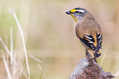 Striated Pardalote 2014-05-09 (IMG_3168) (ajhaysom) Tags: australia melbourne australianbirds greenvale striatedpardalote pardalotusstriatus canoneos6d sigma120400 woodlandshistoricpark