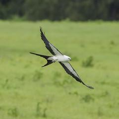 Go Fly a Kite (PeterBrannon) Tags: kite bird nature florida wildlife birding birdofprey zephyrhills swallowtailedkite elanoidesforficatus avianexcellence kiteinflight nikond7000