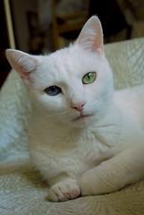 Charlie and his water beard. (rootcrop54) Tags: charlie allwhite white male oddeyed oddeyes heterochromia colors portrait macska kedi  koka kissa  kttur kucing gatto  kais kat katt katzen kot  maka maek kitteh chat
