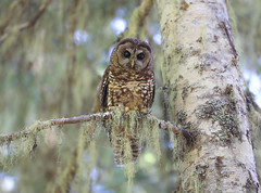 Northern Spotted Owl (Khanh B. Tran) Tags: