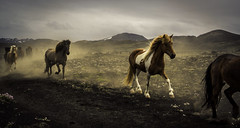 Group Trot (Baron Reznik) Tags: adventure colorimage equid equidae europa europe everydaylife exploration explore horizontal horse iceland icelandichorse island landscape nature remote republicoficeland sonyfe24240mmf3563oss southiceland southernregion suðurland trot ísland íslenskihesturinn европа 冰岛编辑 冰島馬 南部區 欧洲 自然 马科 말과 모험 쉬뒤를란드 아이슬란드 유럽 자연 탐험