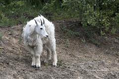 Bovidae: Oreamnos Americanus - Cabra de las Rocosas - Rocky Mountain Goat  (Young) (P e r i c l e s) Tags: artiodactyla caniformia bovidae caprinae oreamnos oreamnosamericanus rockymountaingoat mountaingoat chvredesmontagnesrocheuses cabradelasrocosas cabrablanca montaasrocosas canada endmicadecanadayusa otherspecies otrasespecies 9379431
